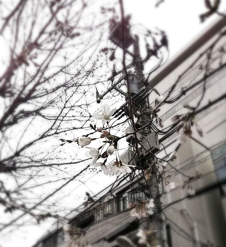 少しづつ桜の開花が進んでます