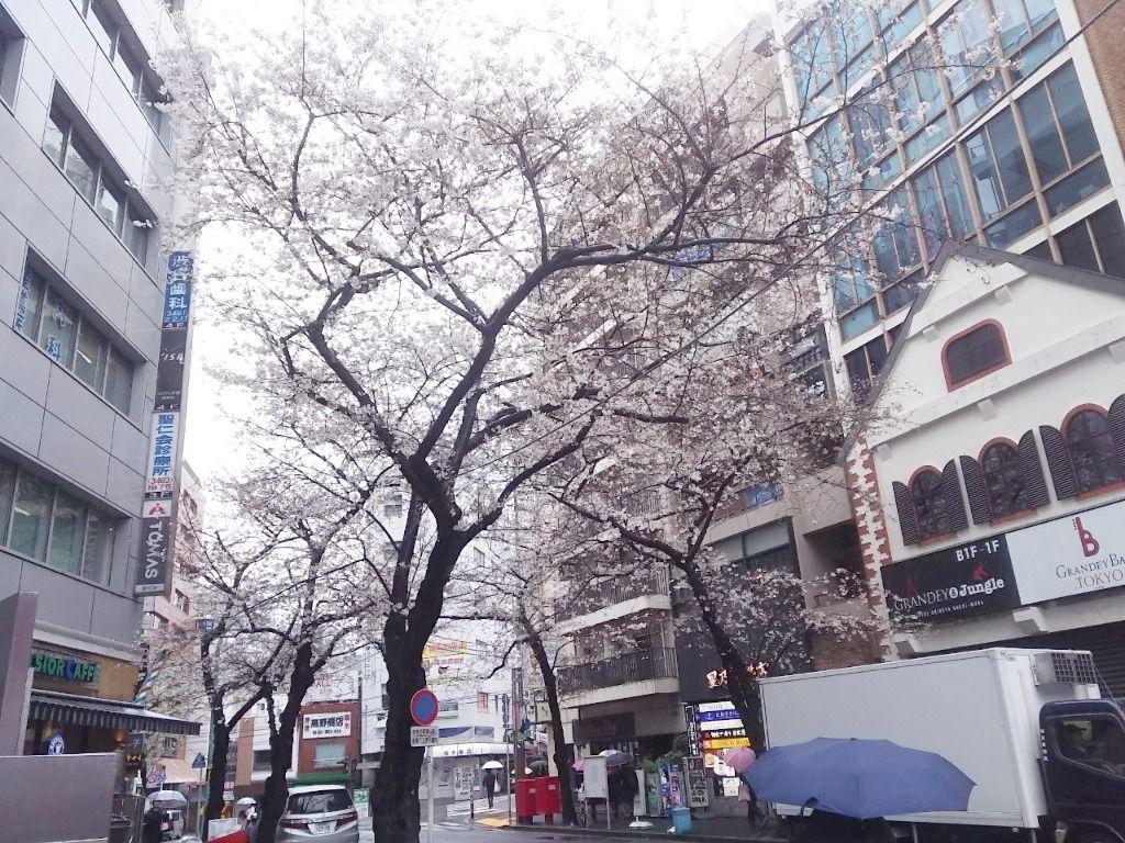 渋谷桜丘坂下の桜の様子