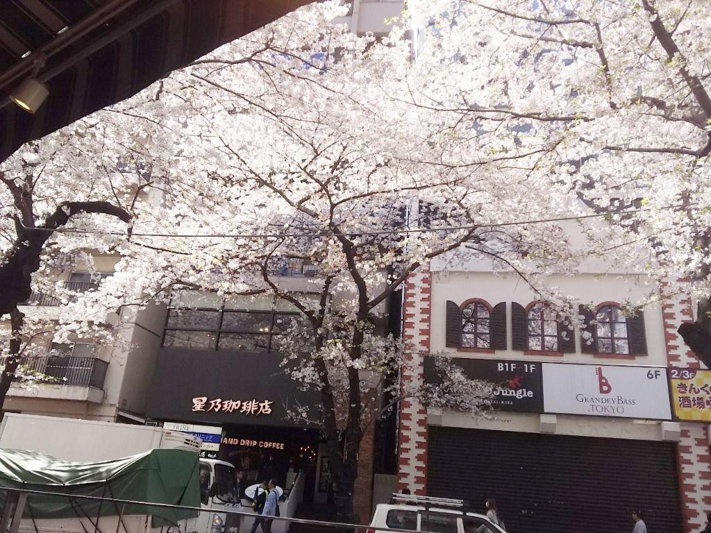桜丘坂下の桜